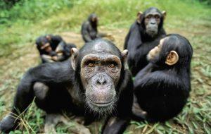 ¿Son los monos más tontos que nosotros?